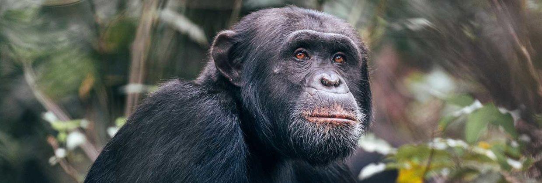 Bestemming Tanzania - Rubondo Island National Park - Chimpansee gewenning