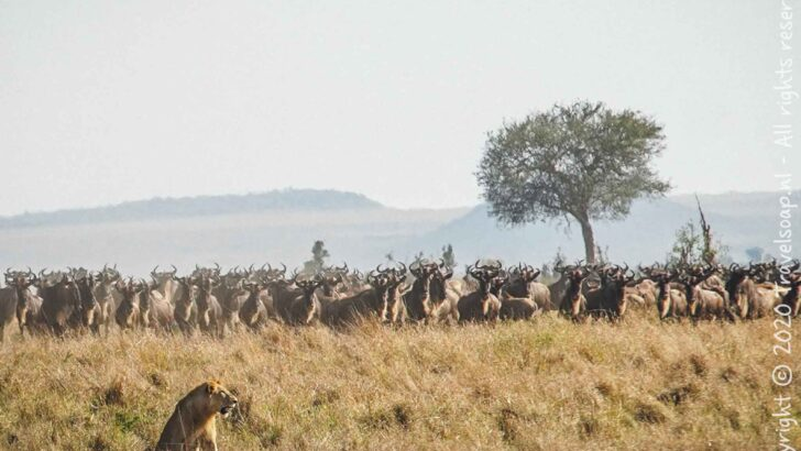 The Great Wildebeest Migration at Mara River I